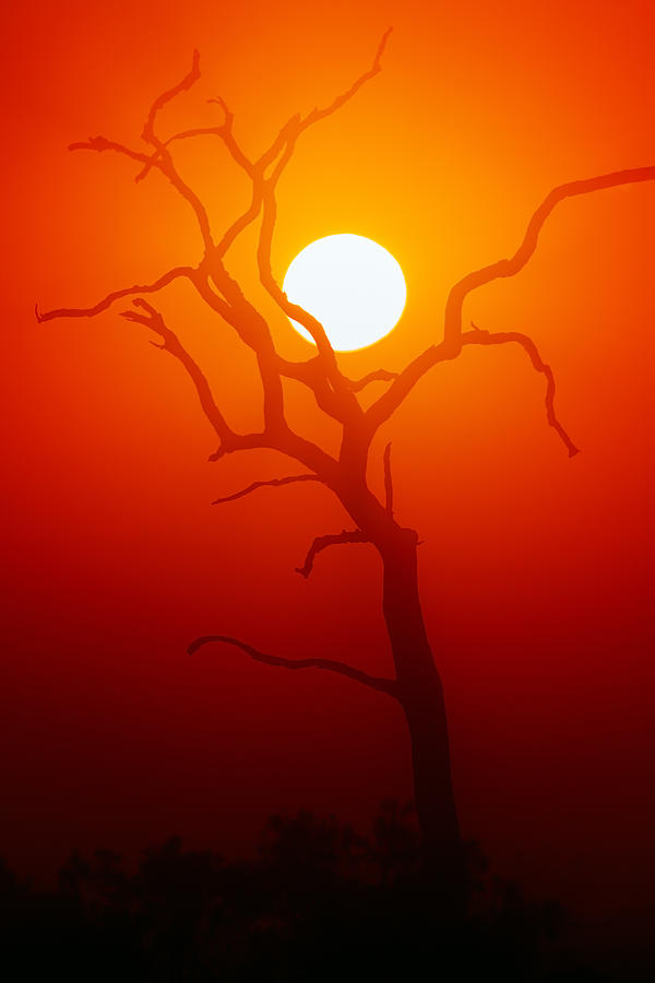 Dead Tree Silhouette And Glowing Sun Photograph