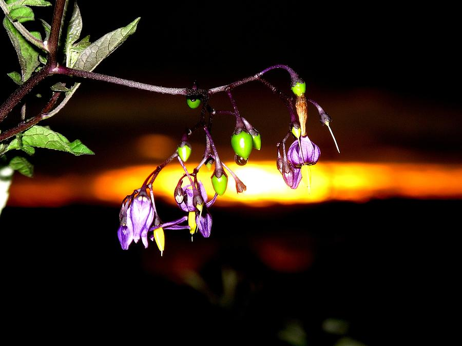 Deadly Nightshade Photograph