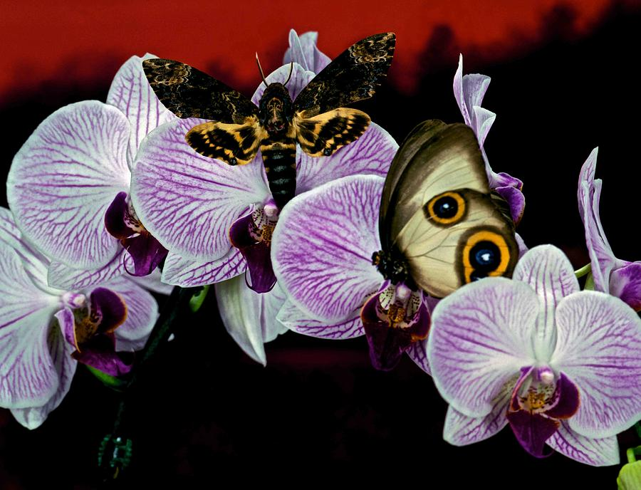 Death Heads Moth Meets Silky Owl Butterfly On Orchid Flower Photograph