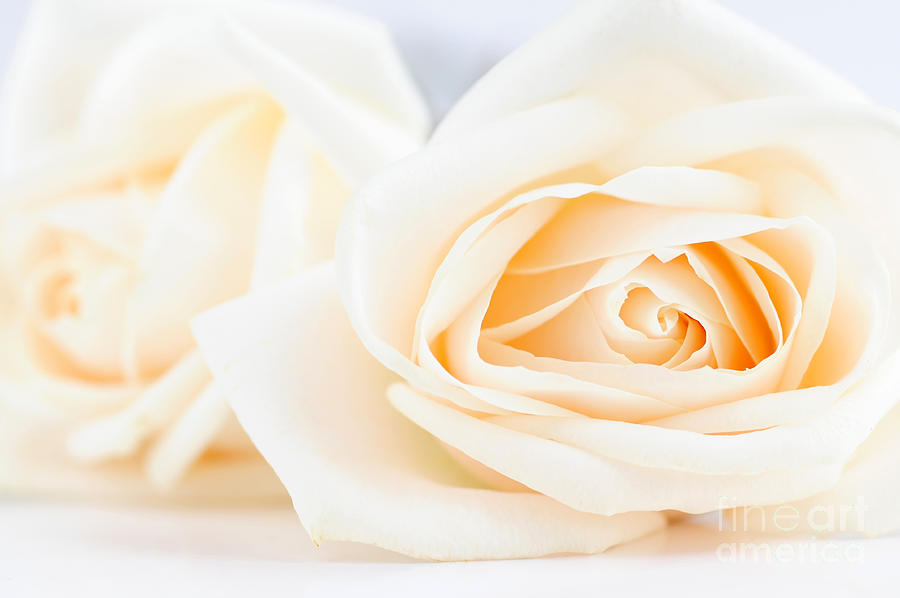 Rose Photograph - Delicate Beige Roses by Elena Elisseeva