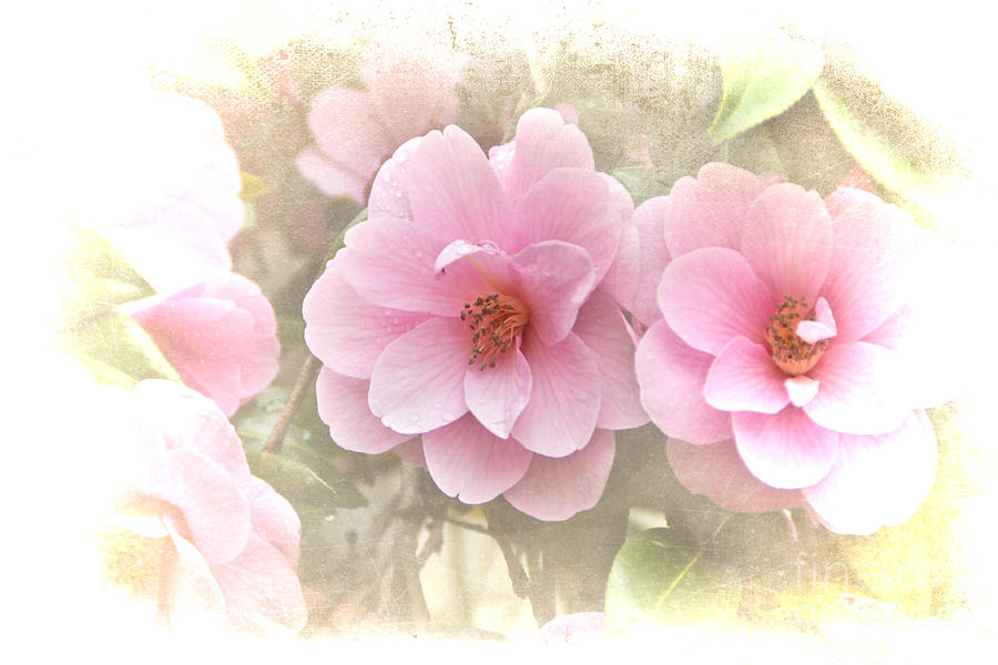 Delicate Camellias Photograph  - Delicate Camellias Fine Art Print