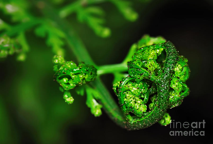 Delicate Fern Unfolding Photograph