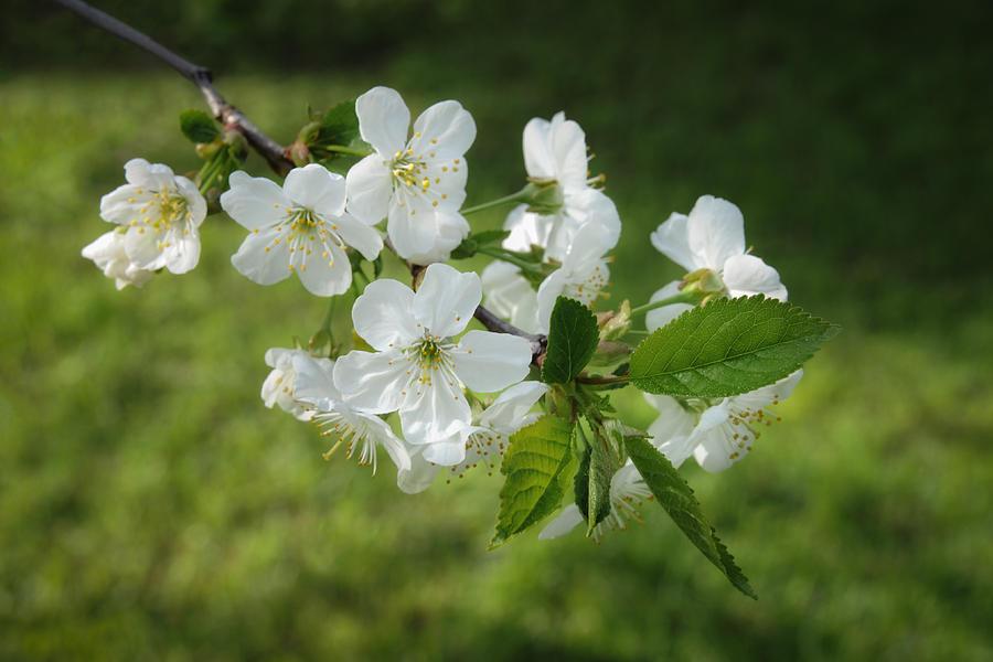 Delicate Springtime Photograph
