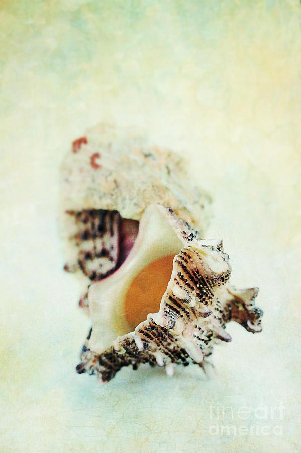 Delphinula Sea Shell Photograph