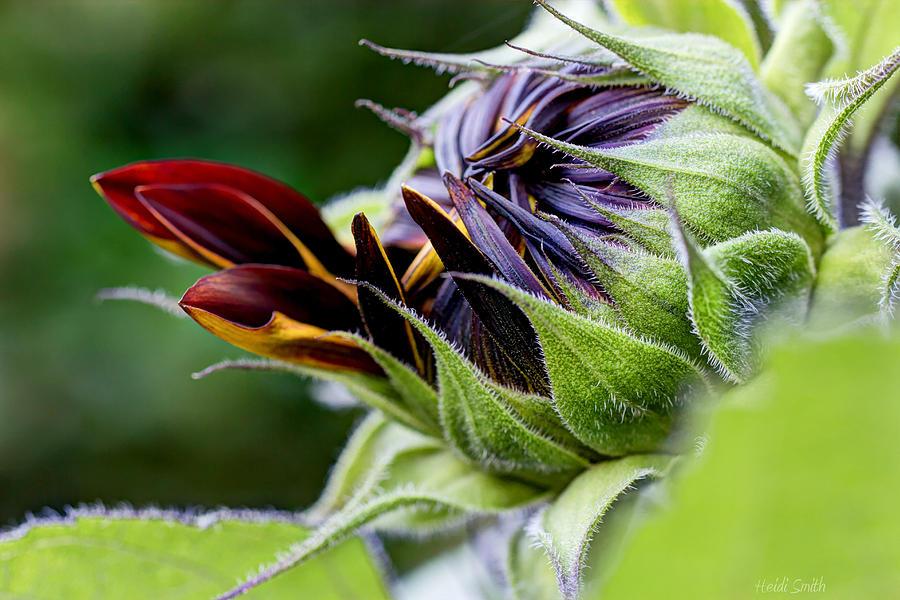Sunflower Photograph - Demure by Heidi Smith
