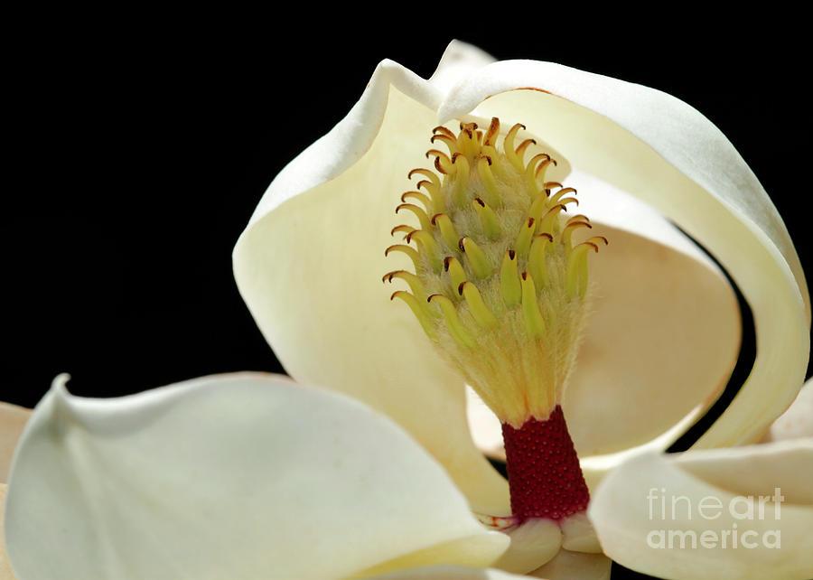 Macro Photograph - Demure Magnolia by Sabrina L Ryan