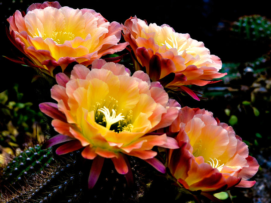 Desert Apricot Glow 6 Photograph