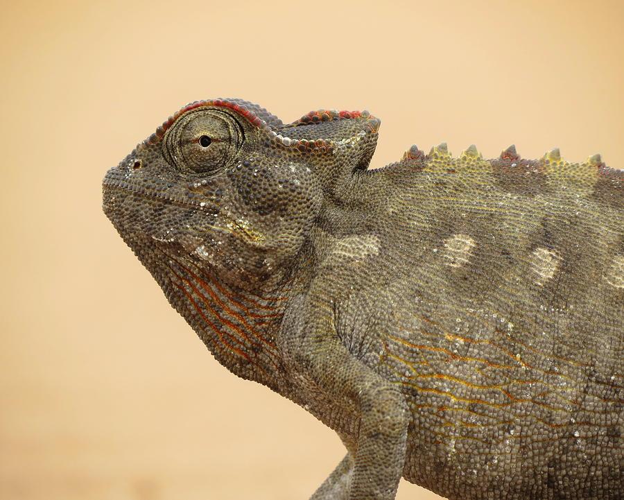 Chameleon Photograph - Desert Chameleon by Ramona Johnston