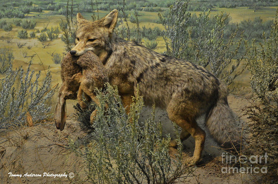 Desert Coyote by Tommy Anderson: fineartamerica.com/featured/desert-coyote-tommy-anderson.html
