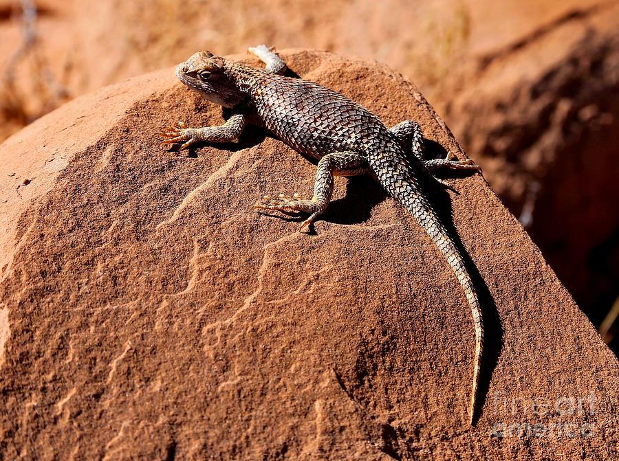 Desert Spiny Lizard Photograph