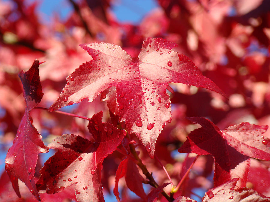 Dew Drops Raindrops Red Autumn Leaves Prints Photograph by ...