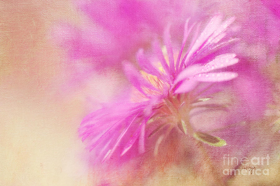 Dewy Pink Asters Photograph  - Dewy Pink Asters Fine Art Print