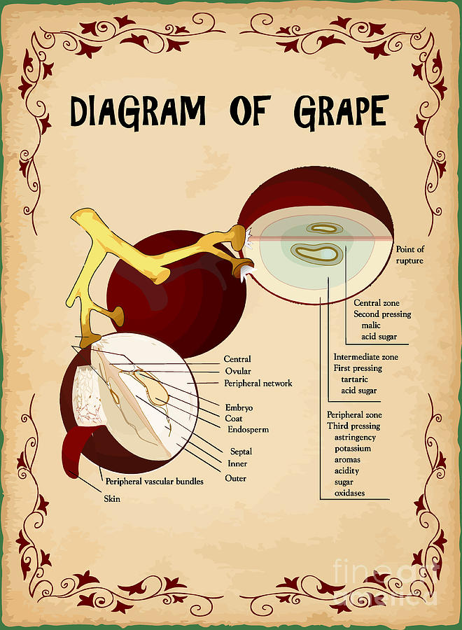 Diagram Of Grape Digital Art  - Diagram Of Grape Fine Art Print