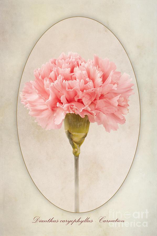 Pink Carnation Photograph - Dianthus Caryophyllus Carnation by John Edwards