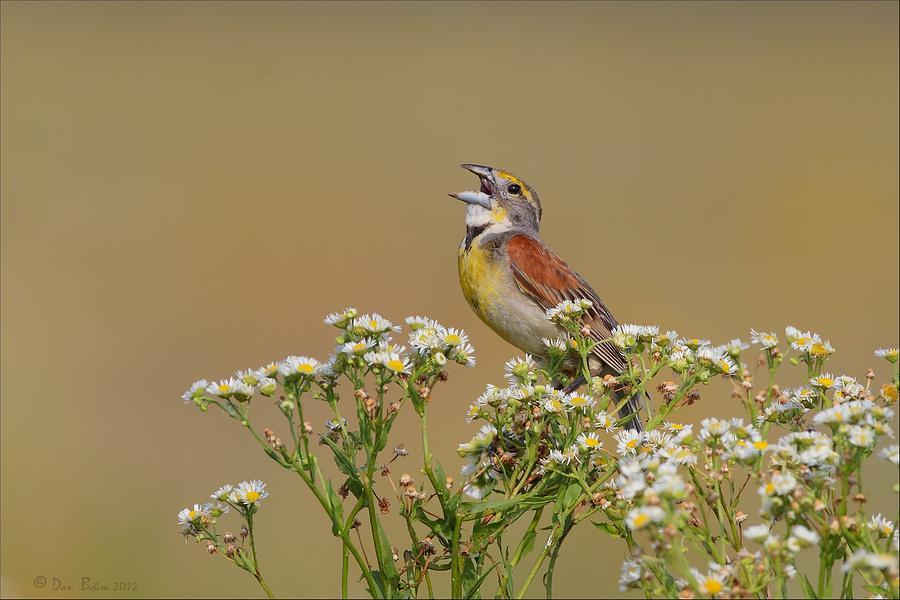 Dickcissel On Wild Daisies Photograph  - Dickcissel On Wild Daisies Fine Art Print