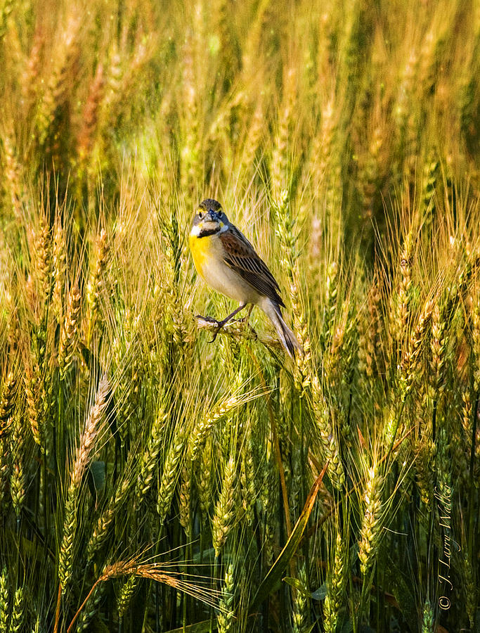 Dickcissel Posing On Wheat Head Digital Art  - Dickcissel Posing On Wheat Head Fine Art Print