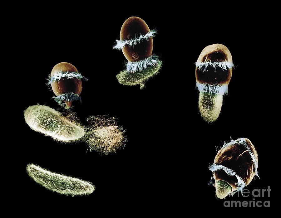 Didinium Ingesting Paramecium Photograph