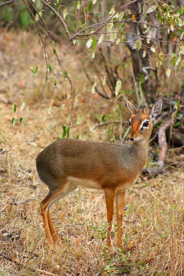 Dik Dik Tsavo National Park Kenya Photograph