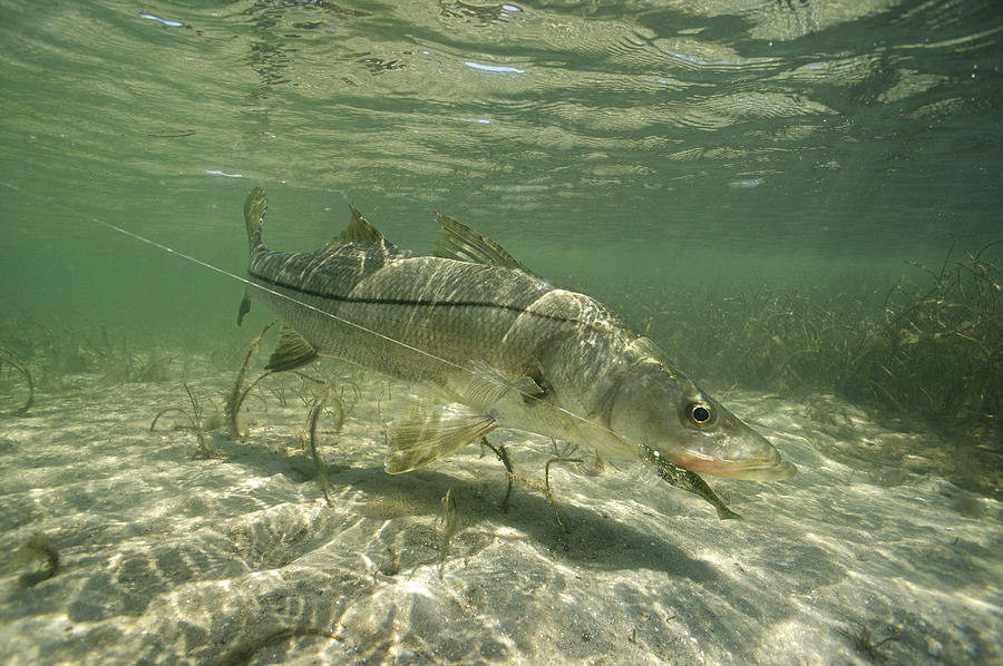 Doa Snook Photograph By Pat Ford