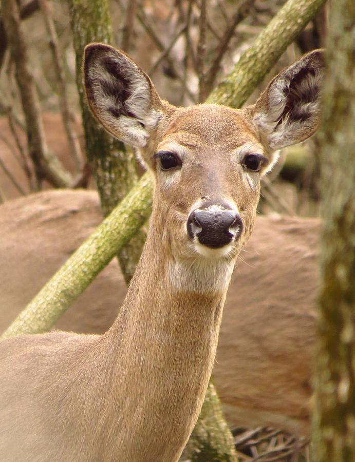 Doe A Deer Photograph
