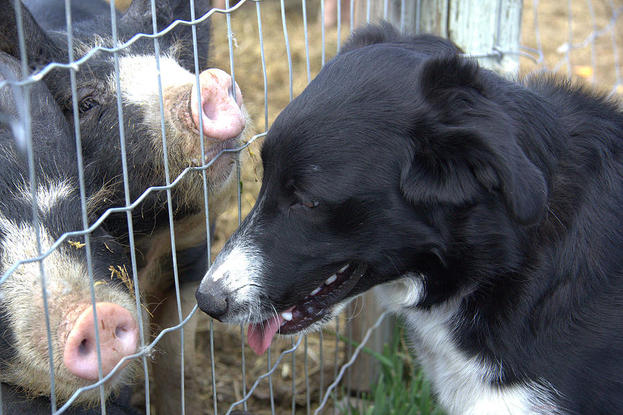 Animal Photograph - Dog And Pigs by Kathy Bassett