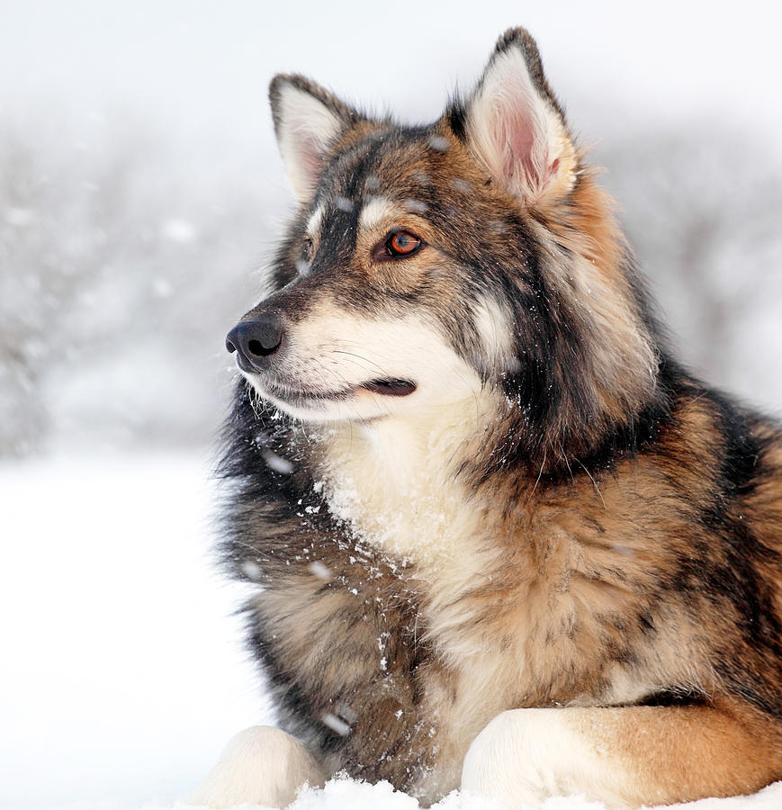 Dog In The Snow Photograph