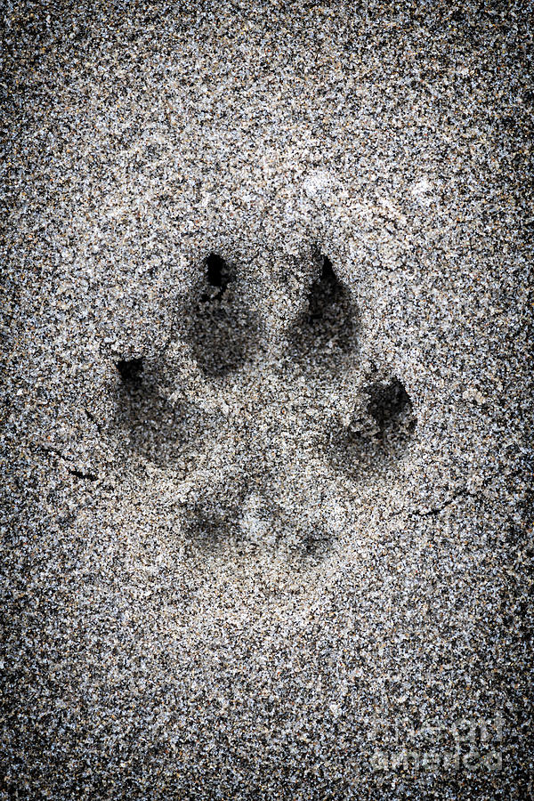 Dog Paw Print In Sand Photograph