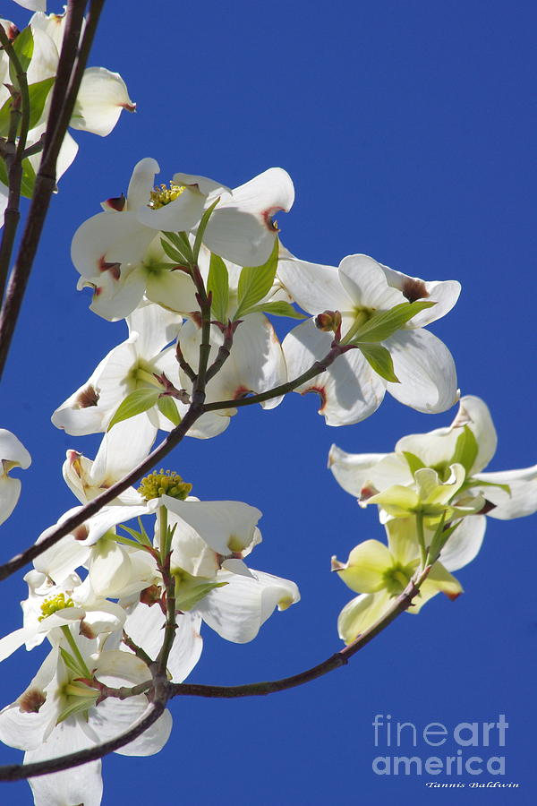Dogwood Photograph - Dogwood Beauty by Tannis  Baldwin