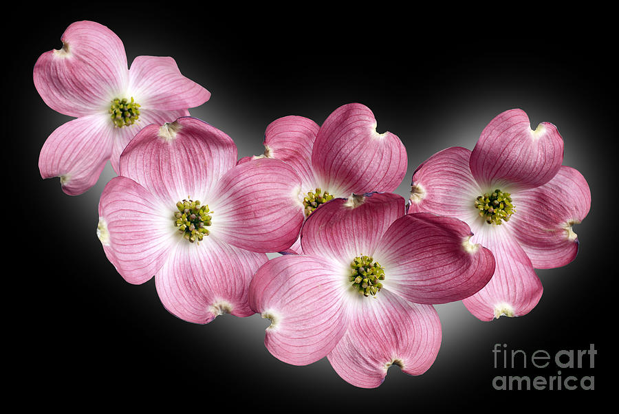 Genus Cornus Photograph - Dogwood Blossoms by Tony Cordoza