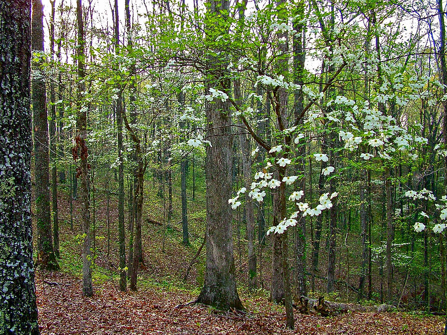 Dogwood In Meriwether Lewis Campground At Mile 386 Of Natchez Trace Parkway-tn Photograph