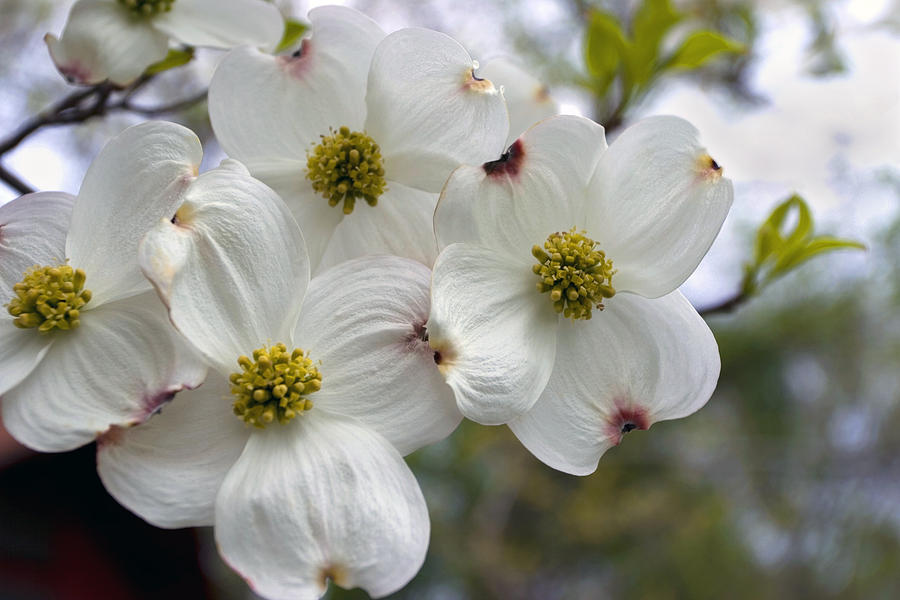 Dogwood In The Wind Photograph  - Dogwood In The Wind Fine Art Print