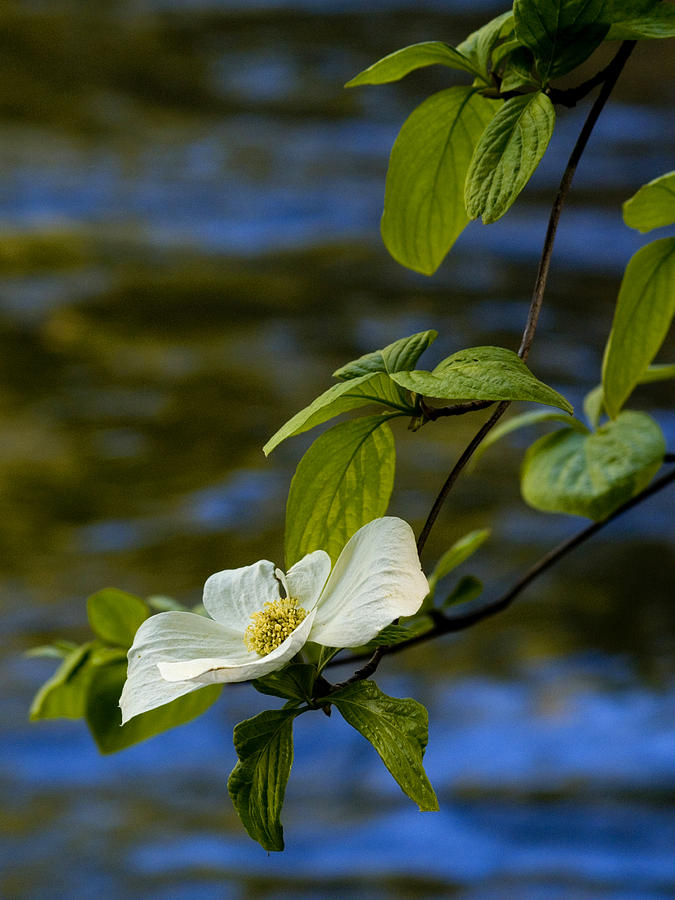 Dogwood On The Merced Photograph  - Dogwood On The Merced Fine Art Print