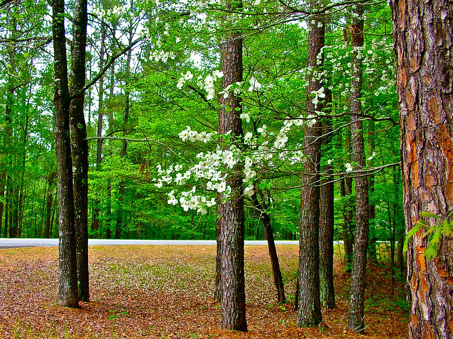 Dogwood On The Parkway At Mile 199 On Natchez Trace Parkway-ms Photograph  - Dogwood On The Parkway At Mile 199 On Natchez Trace Parkway-ms Fine Art Print