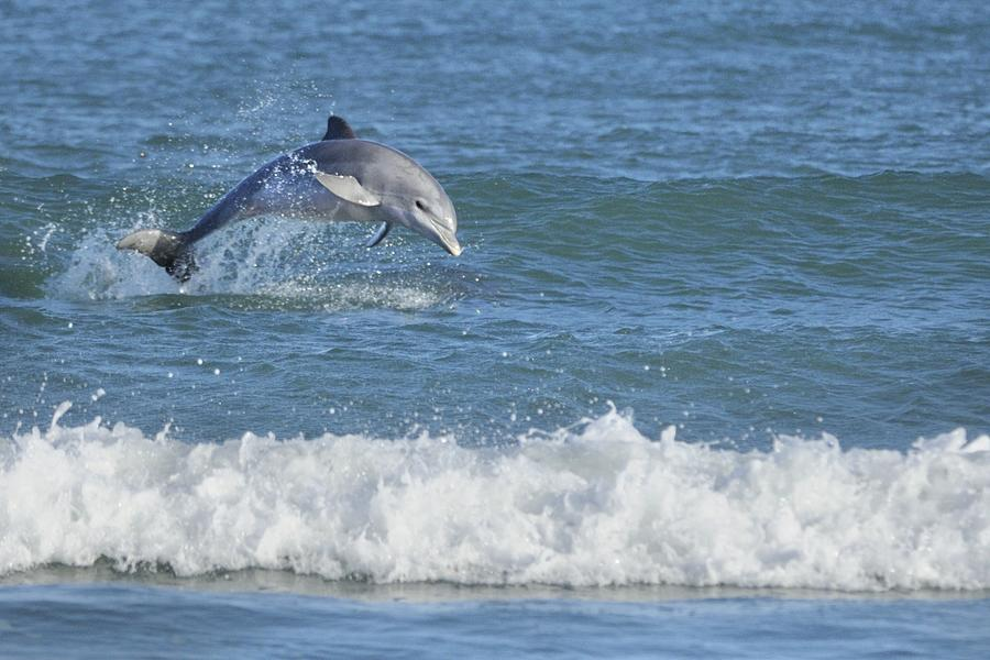 Dolphin In Surf Photograph