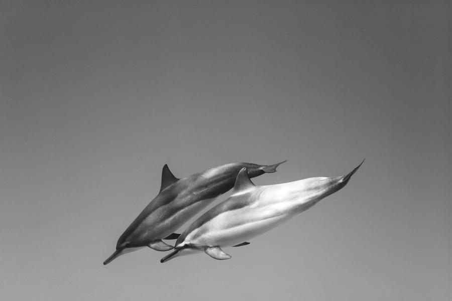 Dolphin Pair Photograph