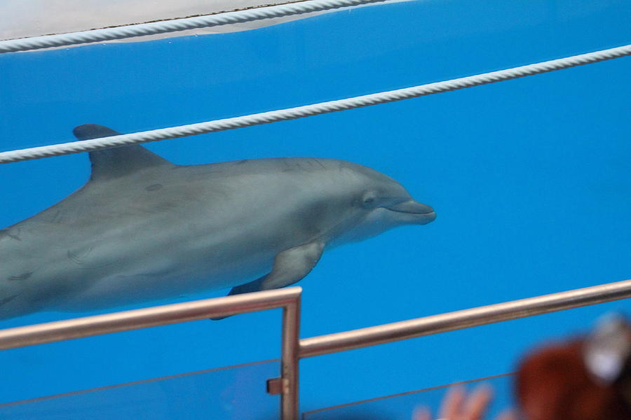 Dolphin Show - National Aquarium In Baltimore Md - 1212121 Photograph