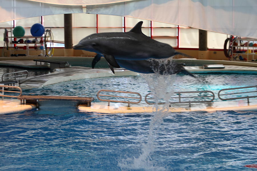 Dolphin Show - National Aquarium In Baltimore Md - 1212249 Photograph