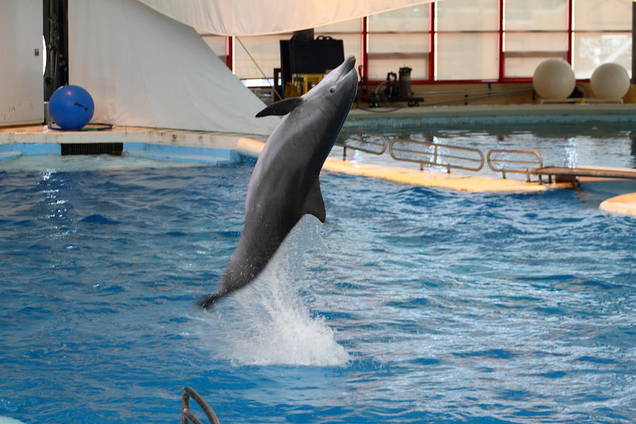 Dolphin Show - National Aquarium In Baltimore Md - 1212263 Photograph
