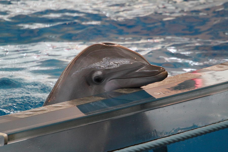 Dolphin Show - National Aquarium In Baltimore Md - 1212280 Photograph