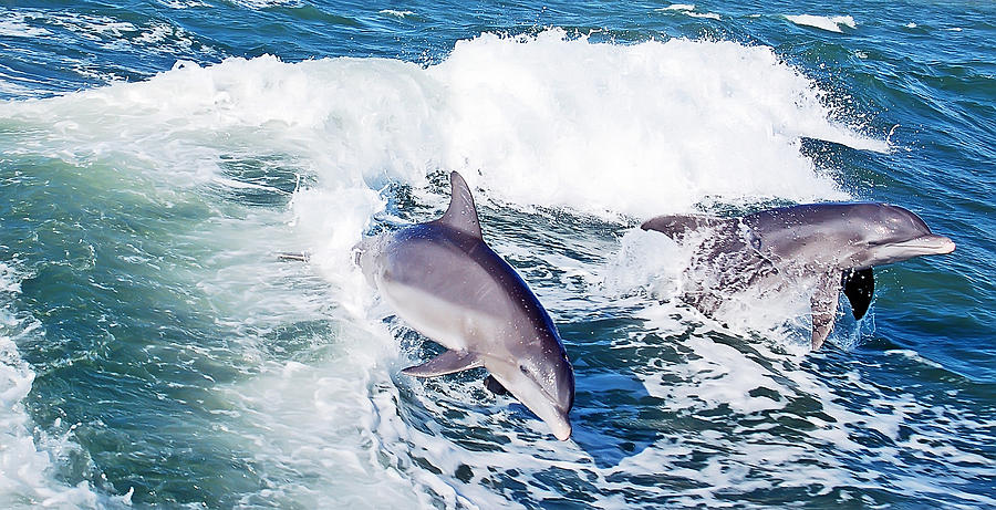 Dolphins Jumping Photograph