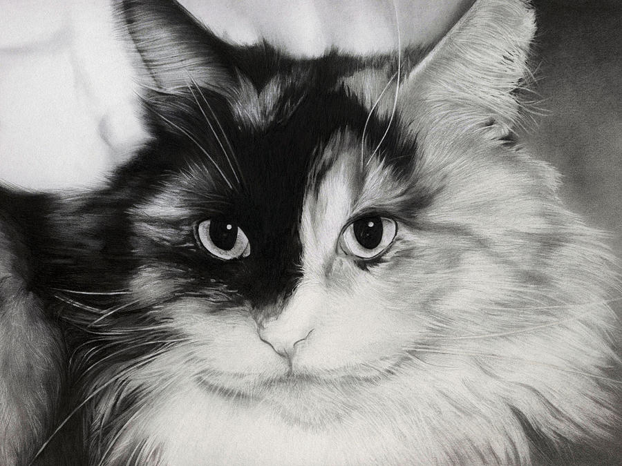 Cat Drawing - Domestic Cat by Natasha Denger