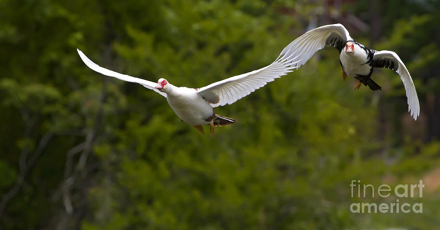 Domestic Muscovy Ducks In Flight 1137 Photograph By J L