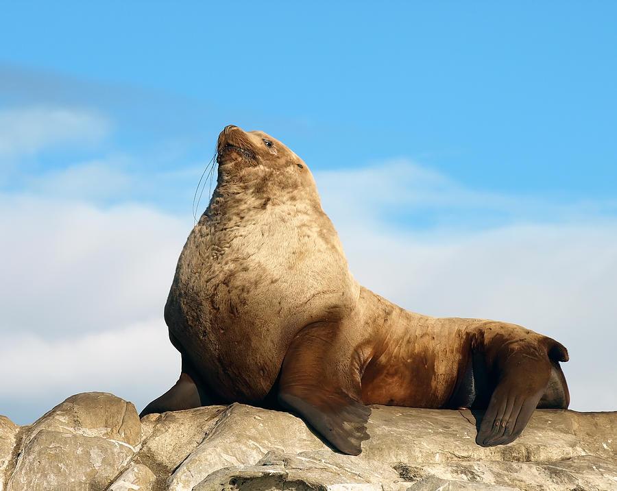 Dominant Steller Sea Lion Photograph By Derek Holzapfel