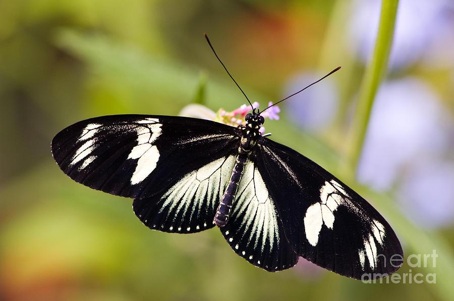 Doris Longwing Butterfly Photograph