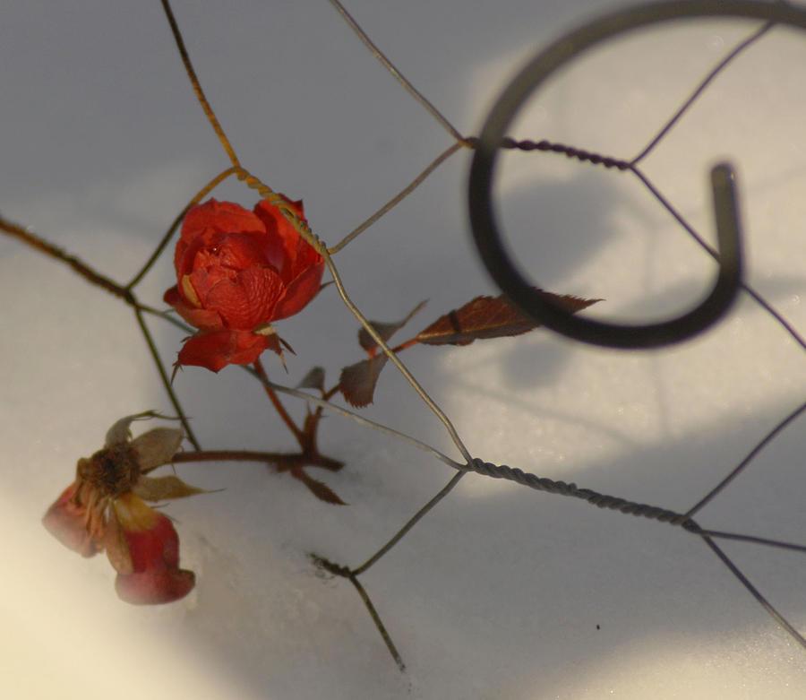 Dorment Rose Photograph