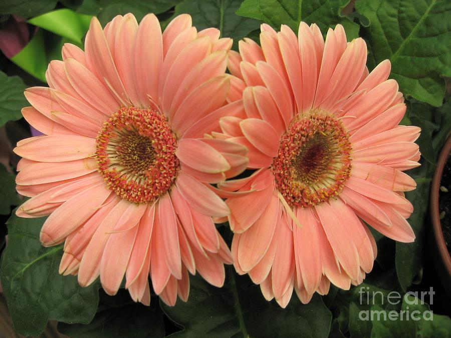 Double Delight - Coral Daisies Photograph