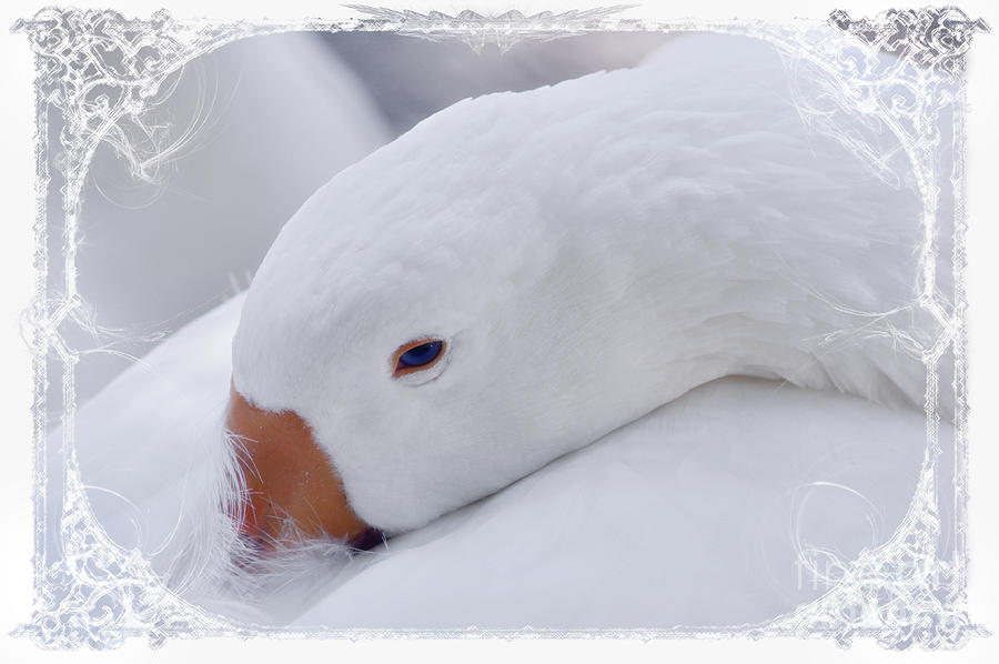 Downy Soft Mother Goose Photograph  - Downy Soft Mother Goose Fine Art Print