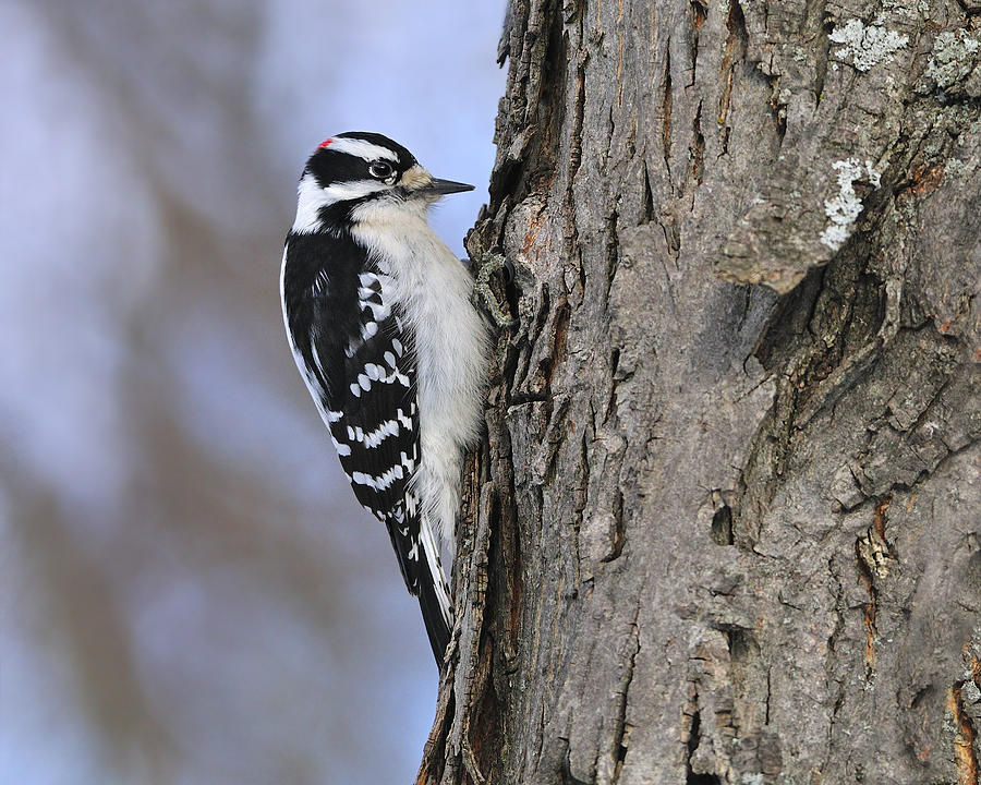 Downy Woodpecker Photograph  - Downy Woodpecker Fine Art Print
