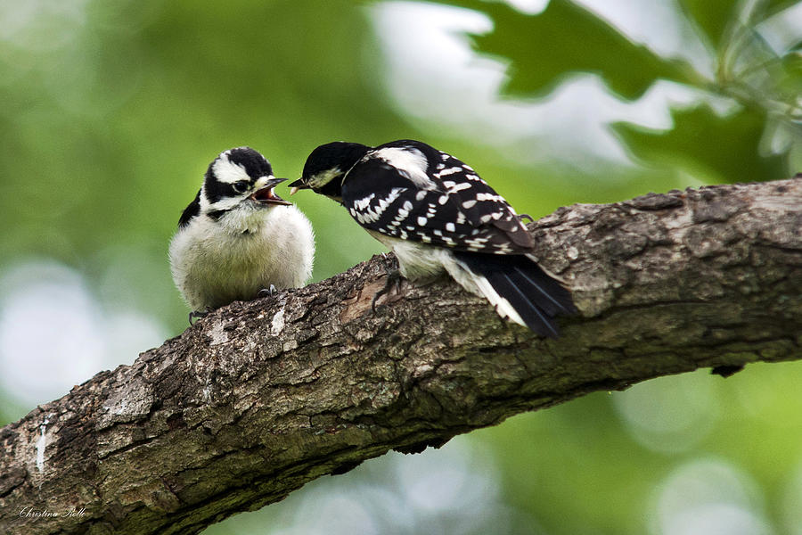 Downy Woodpeckers Photograph
