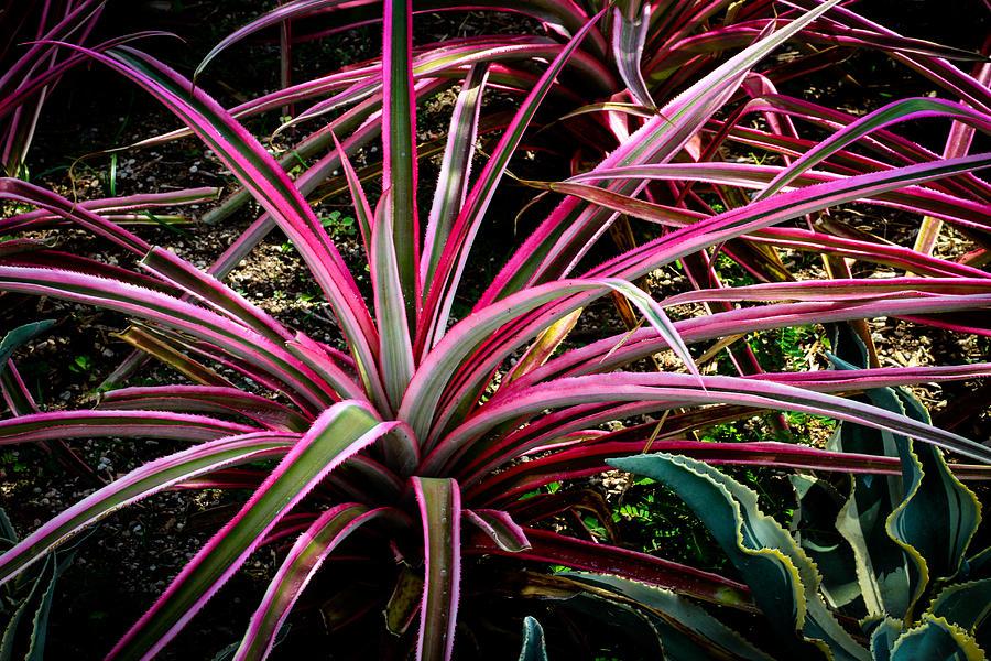 Dracaena marginata colorama singapore plant photograph